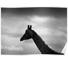 Giraffe at dawn Poster