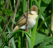 Reed Warbler- II by Peter Wiggerman