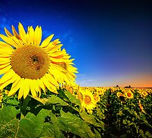 Field of Sunshine... by Tracie Louise
