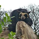 Spectacled Bear by Michaela1991