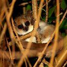 Mouse Lemur (Microcebus - margotmarshae ) Ifaty Madagascar by john  Lenagan