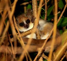 Mouse Lemur (Microcebus - margotmarshae ) Ifaty Madagascar by john  Lenagan
