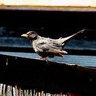 black bird by Perggals© - Stacey Turner
