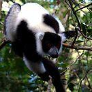 Black and White Ruffed Lemur Andasibe Madagascar by john  Lenagan