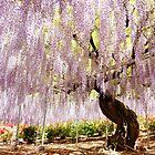 Fuji Flower / Wisteria by kianhwee