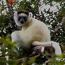 Verreaux's  Sifaka  ( Lemur ) Zombitse NP Madagascar by john  Lenagan