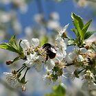 Bumblebee in a cherrytree by EmilFingal