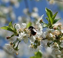 Bumblebee in a cherrytree by EmilFingal
