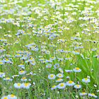 Daisies Gone Wild by Dawne Dunton