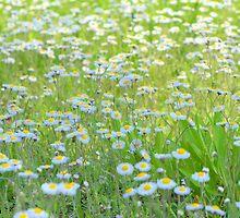 Daisies Gone Wild by ©Dawne M. Dunton