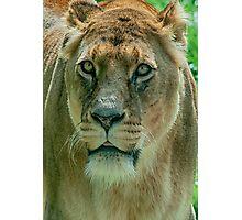 Lioness Female Lion 2 Photographic Print
