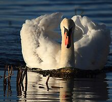 The Stalking Swan by Wild4NatureUK