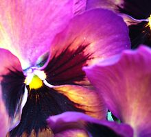 Ppppa Pansy by Julie Van Tosh Photography
