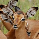 THAT INNOCENT LOOK - The baby impala - ROOIBOKLAM by Magaret Meintjes