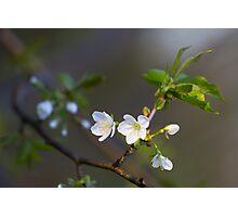 Wild cherry flowers Photographic Print