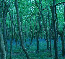 Bluebells in Tehidy Woods, Cornwall by helenoftruro