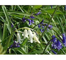 One single white bluebell Photographic Print