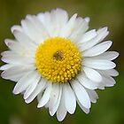 Daisy Daisy by Lucy Adams