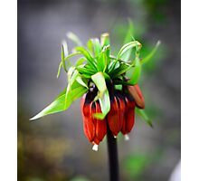 Crown Imperial Photographic Print