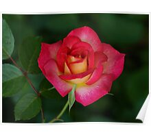 Peace Rose Poster