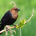 Mr. Cowbird by lorilee