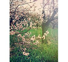 Apple Blossom Time in Leelanau Photographic Print