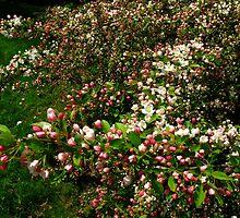 Apple Blossom Joy by MarianBendeth