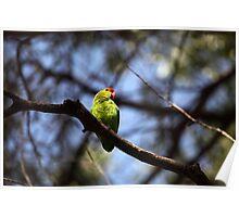 Black-winged lovebird Poster