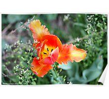 Pretty Tulip Poster
