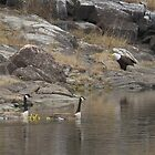 Wary geese and bald eagle cooexist by Alex Call