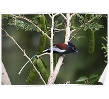 African paradise flycatcher Poster