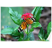 Tiger Butterfly Poster