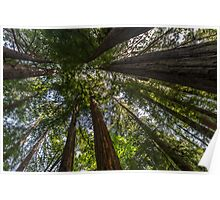 Looking Up - Taylor State Park Poster