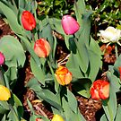 Multi-colored tulips by Meghan1980