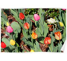 Multi-colored tulips Poster