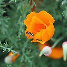 Bee Poppy by Sherry Cummings