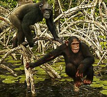 CHIMPANZEES IN MANGROVE by DilettantO