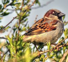 Little male Sparrow  by larry flewers
