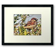 Little male Sparrow  Framed Print