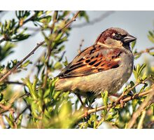 Little male Sparrow  Photographic Print