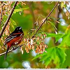 orchard oriole by Randy & Kay Branham