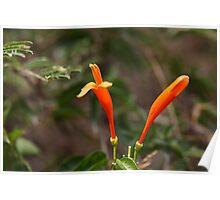 Orange blossoms of Ruttya Poster