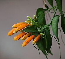Orange blossoms of Ruttya by Zosimus