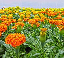Ocean of Marigolds by Susan S. Kline