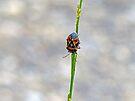 Harlequin Bug by Susan S. Kline