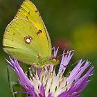 Clouded Yellow by Neil Bygrave (NATURELENS)