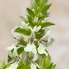 White Dead-nettle by Neil Bygrave (NATURELENS)