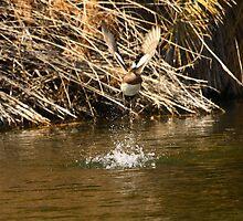 American Wigeon Duck In Flight. by mikepemberton