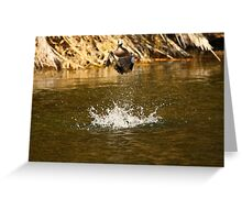 American Wigeon Duck In Flight. Greeting Card