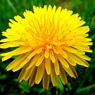 Dandelion macro by Livvy Young